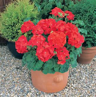 Flores wiki for Significado de ornamental wikipedia