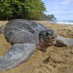 102106-18.jpg Animal Leatherback Sea Turtle