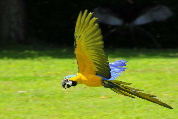 Arara Barriga Amarela.