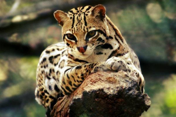 preferência animais em extinção na floresta amazonica ex51 ivango