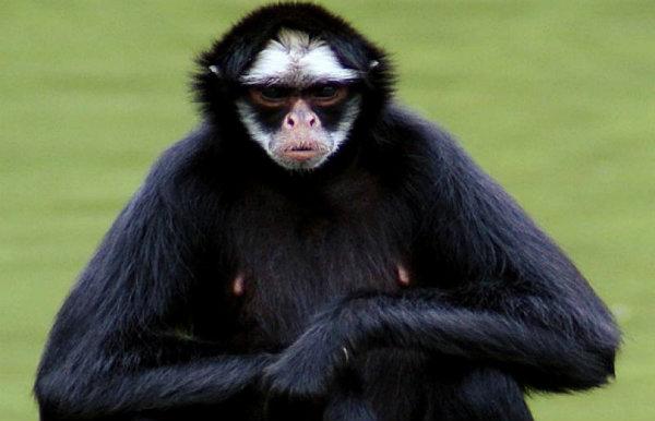 Macaco Aranha.