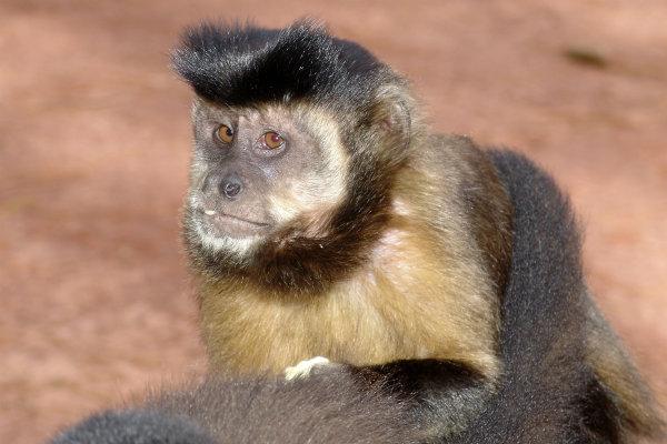 Macaco Prego.