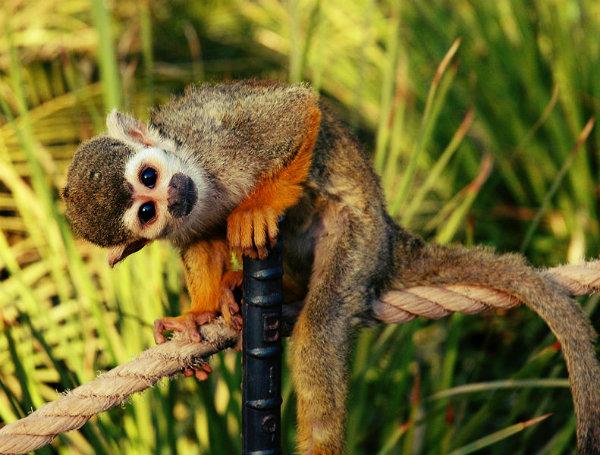 Macaco de Cheiro.