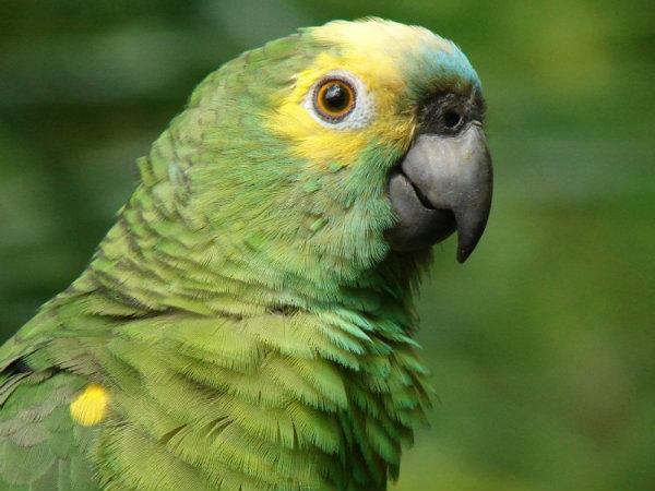 Papagaio Verdadeiro.