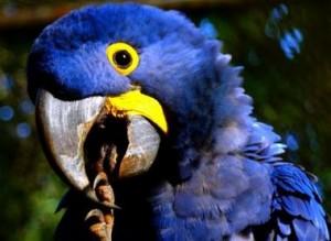 Animas em extinção Arara Azul