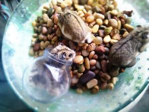 A alimentação dos hamsters é essencial para seu desenvolvimento.