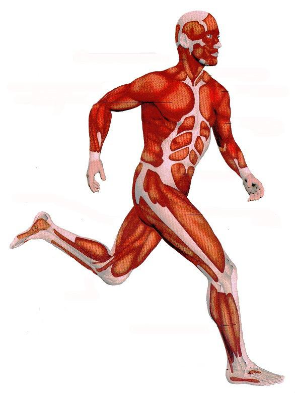 Principais músculos do corpo humano.