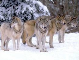 Matilha de Lobos