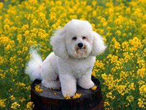 Mini Poodle (Foto: Divulgação)