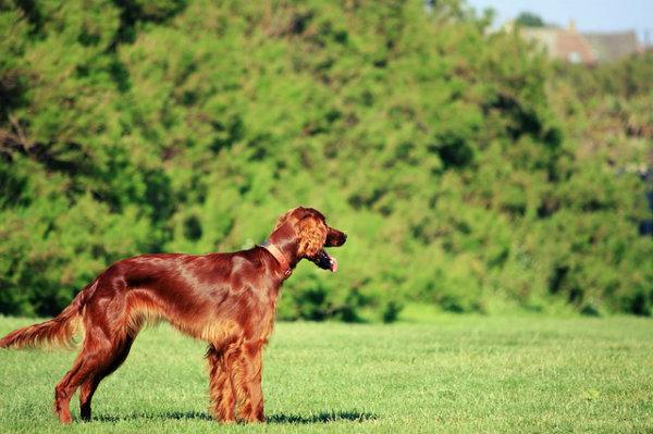 Uma das pelugens mais bonitas entre cachorros.