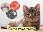 Toxoplasmose sintomas tratamento