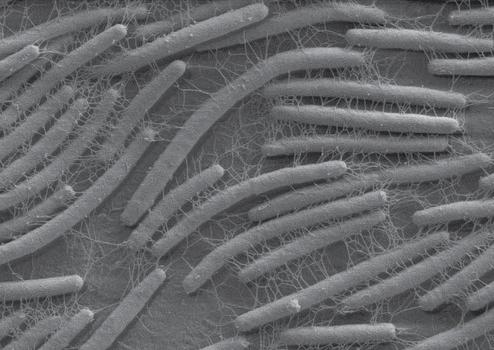 Acetobactérias