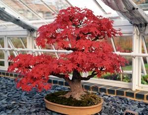O bonsai é uma das árvores de pequeno porte mais bonitas e caras do mundo.