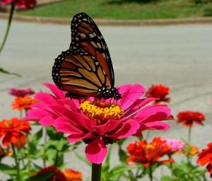 As borboletas são responsáveis por as flores o pólen.