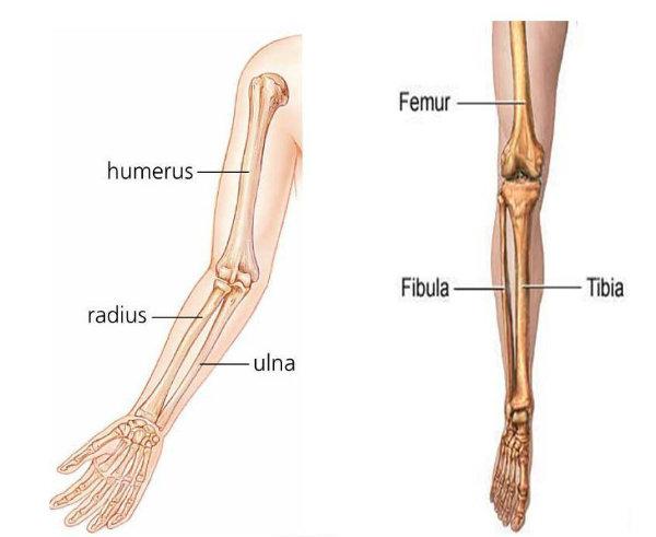 Os ossos dos braços são responsáveis pela movimentação das mãos, dos punhos e dos cotovelos