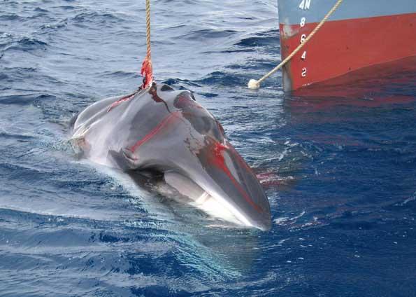 caça as baleias