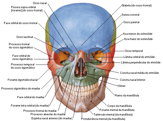 Responsáveis por fazer a movimentação do maxilar, proteção do cérebro, formação das orelhas, bocas e narizes.