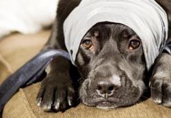 Cães com tontura começam a apresentar tristeza e falta de ânimo.