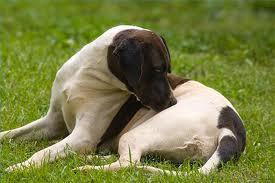 cão com carrapato