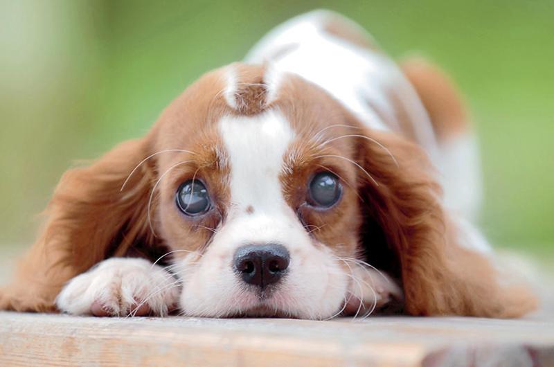 catarata canina