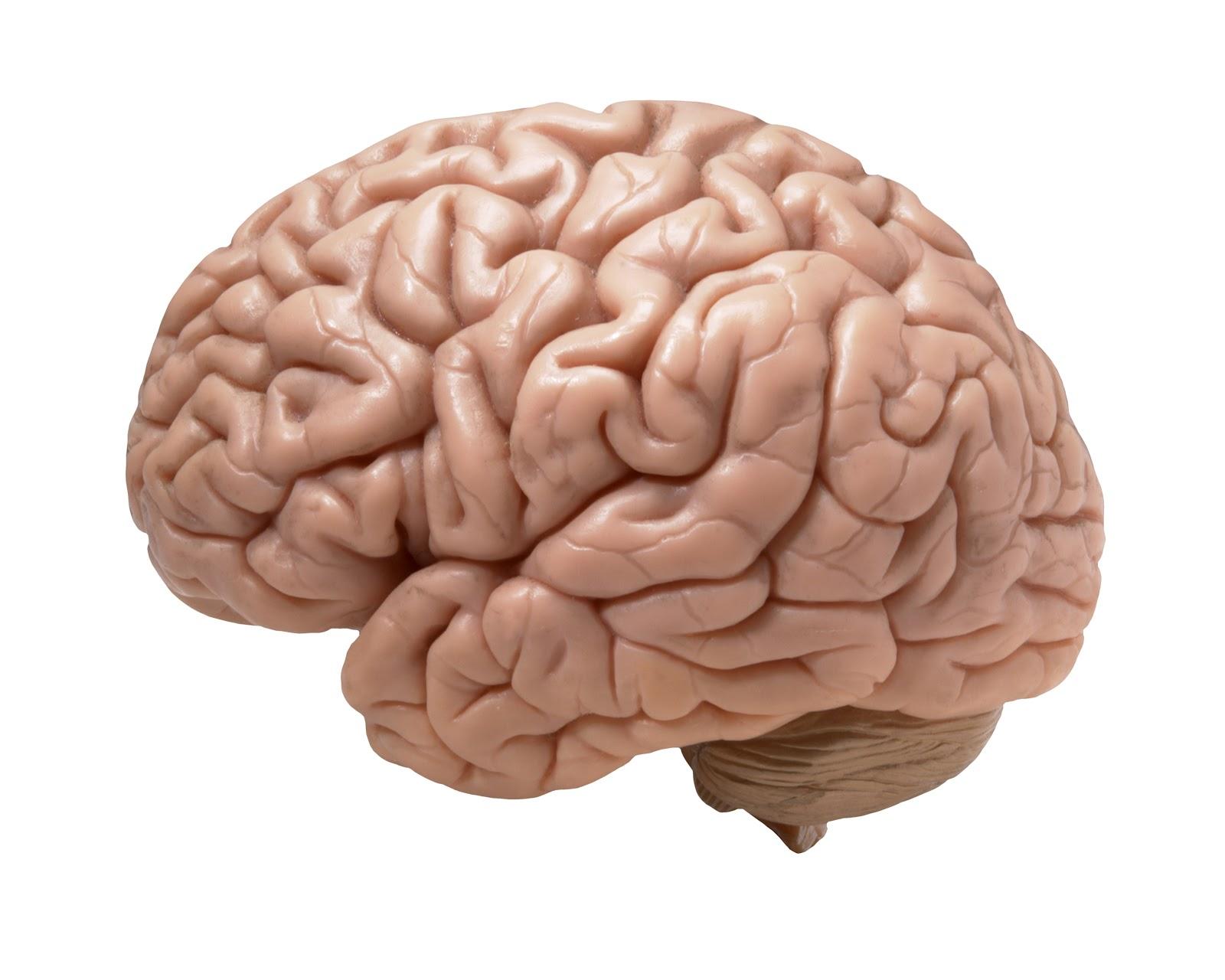 Cérebro humano - o sistema nervoso está quase todo próximo ou fazendo parte do cérebro.