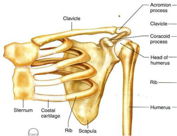 Rresponsável por fazer a sustentação do corpo e crânio, em conjunto com os ossos do pescoço.