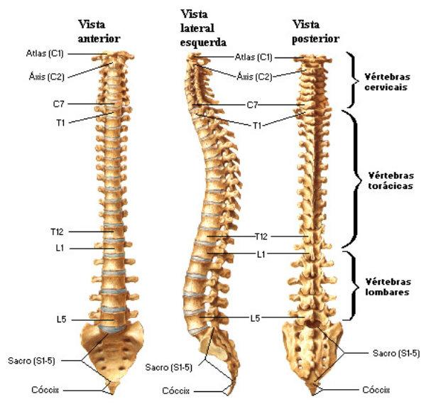 Uma das partes composta por ossos mais importante do corpo.