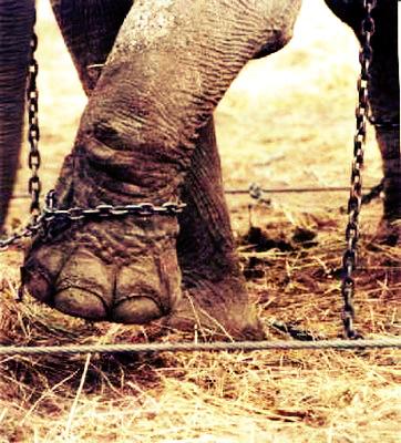 Os casos de comportamento estereotipado ocorrem principalmente em animais presos