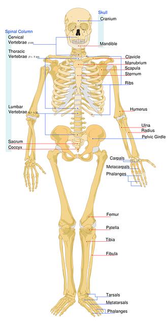 O esqueleto humano é totalmente peculiar.