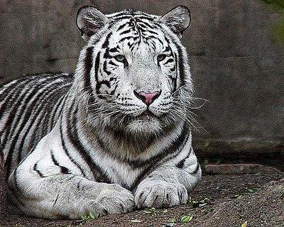 O Tigre é uma das espécies em risco, ele está quase que totalmente extinto.