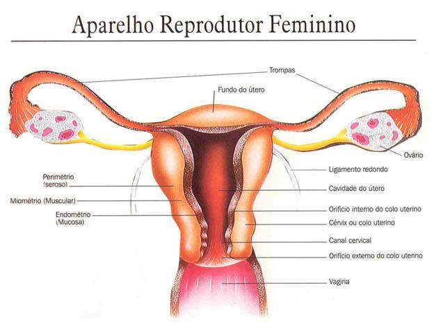 Esquema ilustrativo do aparelho reprodutor feminino