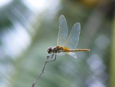 Repare que o inseto está focalizado e o fundo desfocalizado (foto: reprodução)