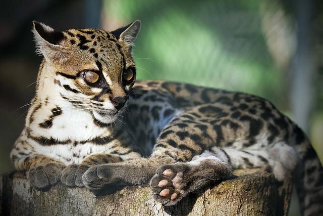O gato do mato é uma espécie parecida com a onça, mas em tamanho menor.