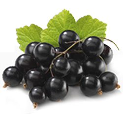 A Groselha Negra é a fruta que traz maior nível de benefícios ao corpo humano