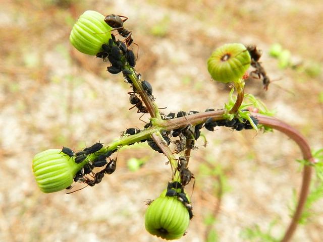 Formigas cortadeiras (foto:reprodução)