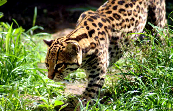 A jaguatirica é muito parecida com a onça pintada, apesar de terem tamanhos diferentes.