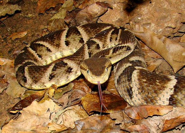 Uma das cobras mais perigosas.