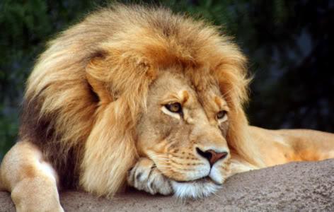 Leão: Ruge (foto: reprodução)