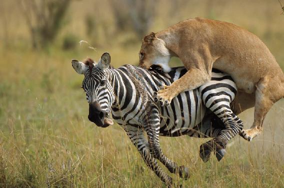 Leoa - predadora natural das zebras