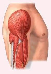 Músculos presentes na região do braço.