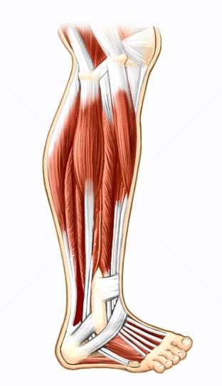 Os músculos das pernas são responsáveis pela movimentação dos pés e sustentação do corpo.