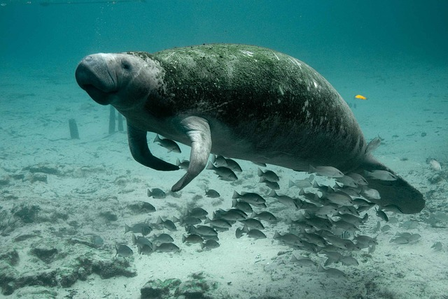 Peixe boi marinho (foto: reprodução)