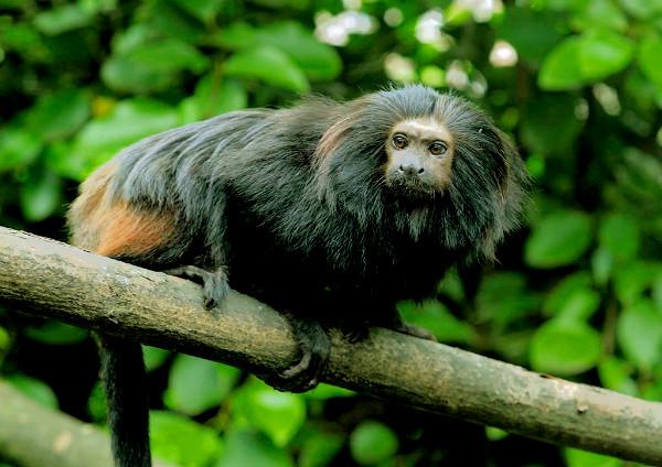 O mico leão preto é uma espécie que vive nas extensões do rio Paranapanema e o rio Tietê.