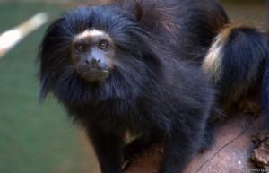 mico leao preto
