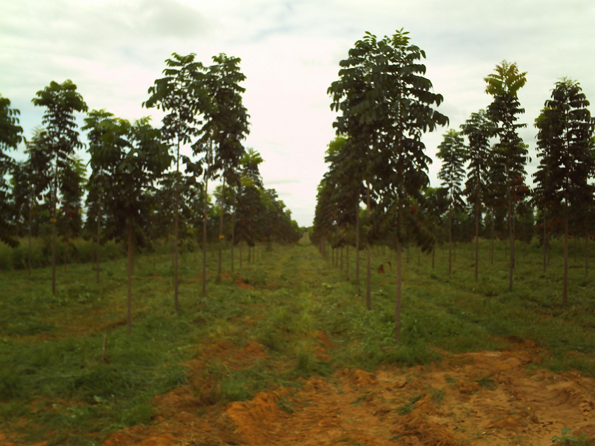 Cultivo de Mogno brasileiro (foto: reprodução)