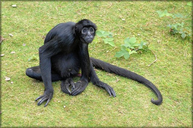 Macaco aranha (foto: reprodução)
