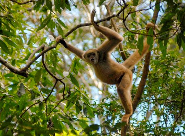 O mono carvoeiro é uma macaquinho silvestre muito esperto.