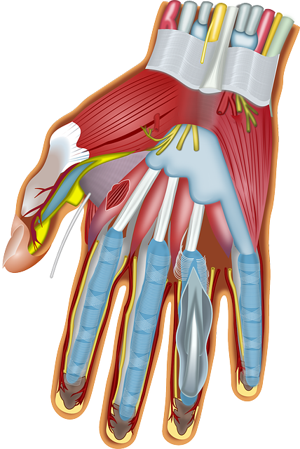 Músculos e tendões