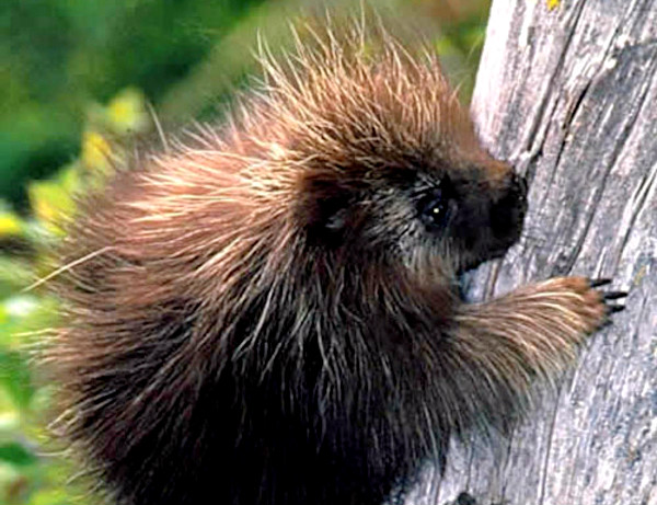 O ouriço preto é uma espécie pouco estudada, mas que merece atenção.