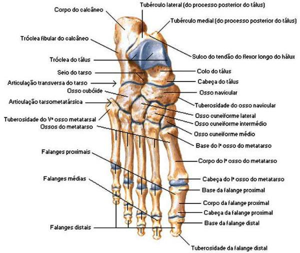 Os ossos dos pés sustentam o corpo.
